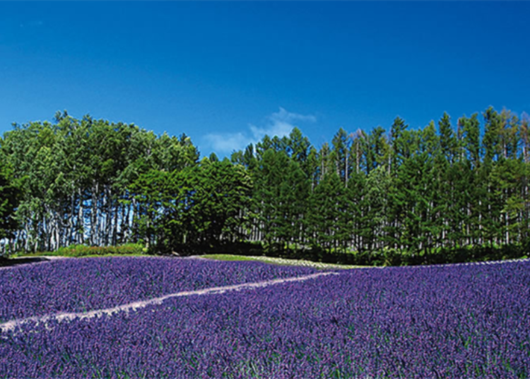 #2. Lavender Forest Field on Hill with Two Types of Lavender in Bloom