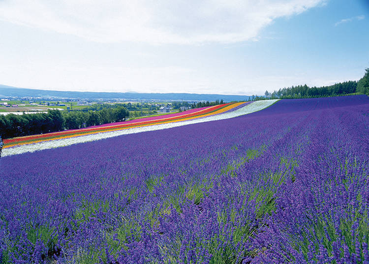 Other Non-Lavender Flower Fields #2 - Irodori Field Spread across a Gentle Slope