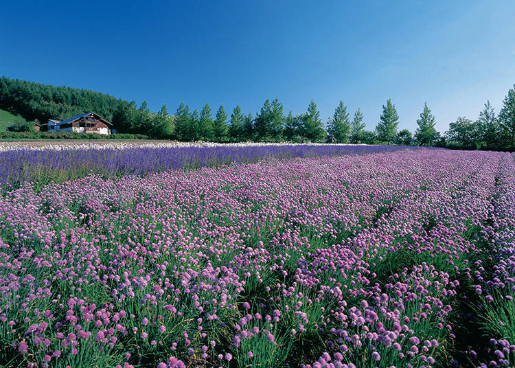 Other Non-Lavender Flower Fields #3 - Spring Field and Autumn Field