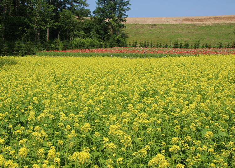 Many Unique Flower Fields like the Hilltop Field that Started in 2017