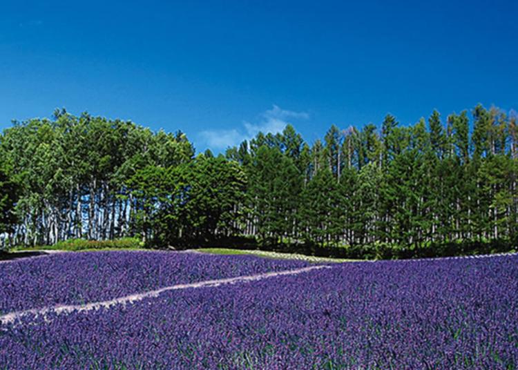 【その2】2種のラベンダーが咲きほこる丘の上の「森のラベンダー畑」