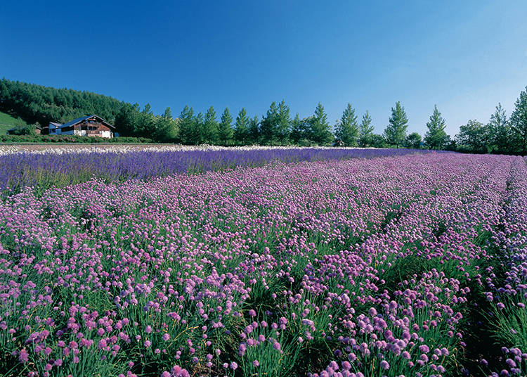 【ラベンダー以外の花畑 その3】「春の彩りの畑」と「秋の彩りの畑」