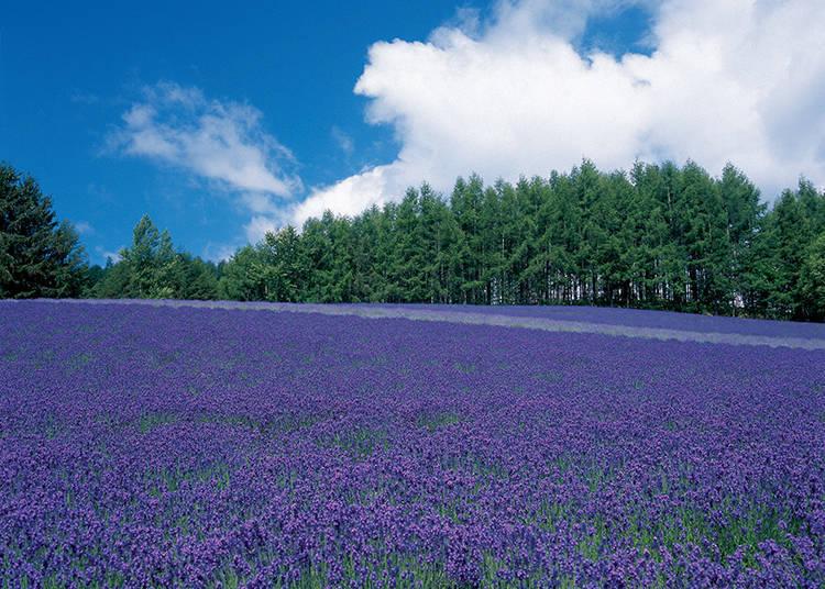 공원 안에 있는 3곳의 라벤더 밭을 산책하자 【첫 번째】 [트레디셔널 라벤더 밭]