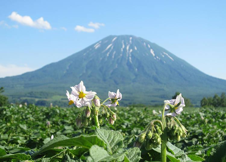 【羊蹄山の絶景 その1】7月上旬の風物詩・ジャガイモ畑と羊蹄山