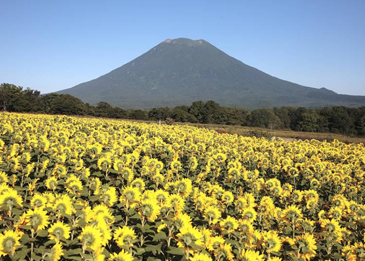 【羊蹄山绝景2】内行人才知道! 「东山 花之丘」向日葵花海
