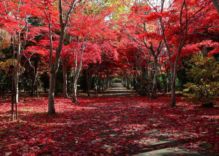 Complete Hokkaido Fall Foliage Guide: Where are the popular spots? When is the best season to see colorful autumn leaves?