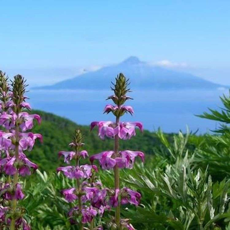 "Trekking around Rebun - Japan's ""Island of Flowers"": Japanese flower guide!"
