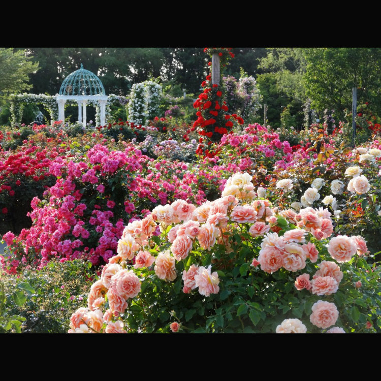 京成玫瑰园