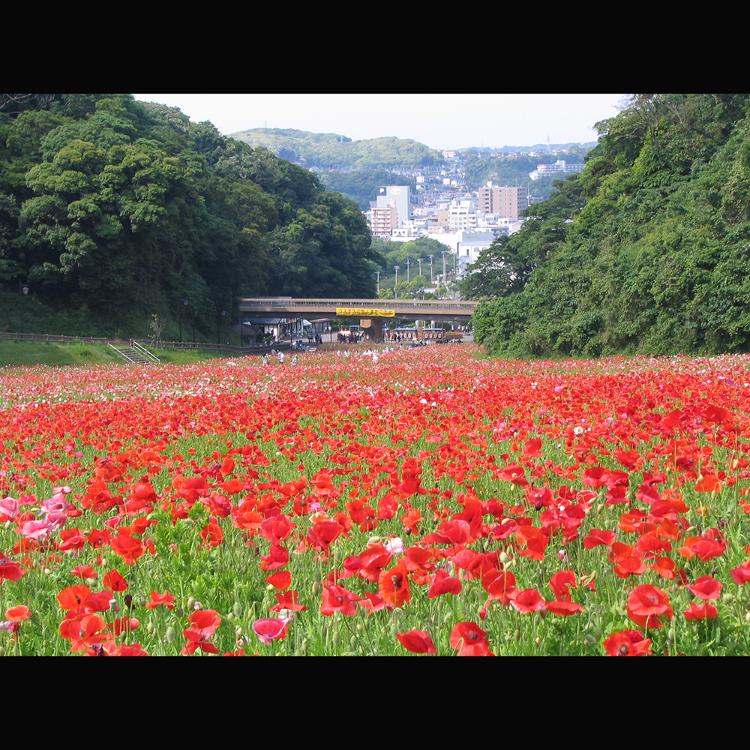 横须贺  久里滨花之国