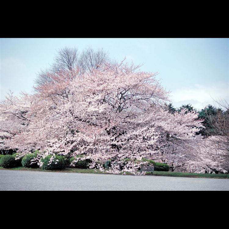新宿御苑的春天
