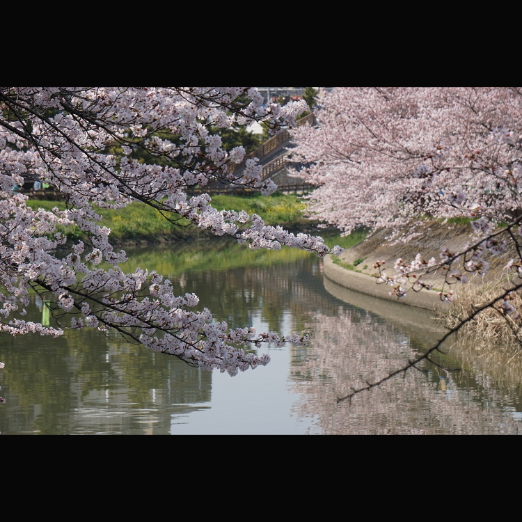 """国家指定名胜""""奥之细道的风景区 草加松原""""(Big Bonsai Road)"""