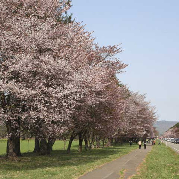 Twenty between the road cherry trees-Shizunai