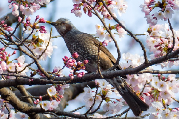 代代木公園櫻花樹上的鳥隻